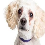 Fleke oko očiju belih pasa